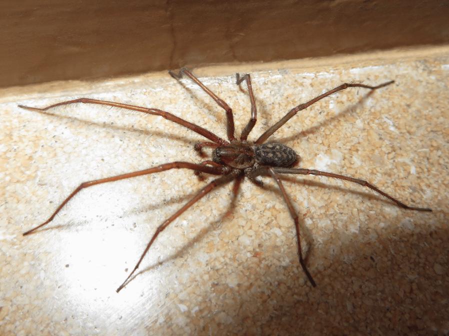 Une araignée tégénaire