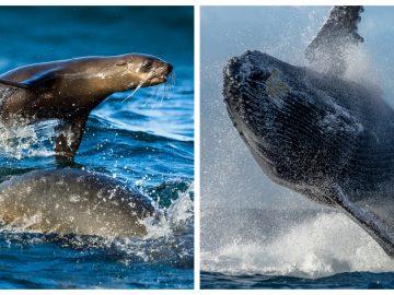 La photo inédite d'une baleine avalant un lion de mer, prise par Chase Dekker.