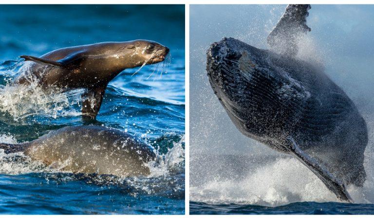 Un photographe animalier parvient à capturer le moment précis où une baleine avale un lion de mer