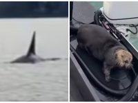 Une loutre chassée par un orque se réfugie sur un bateau en Alaska.