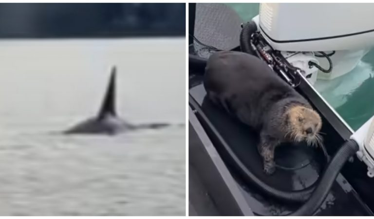 Vidéo : une loutre pourchassée par une orque doit sa survie à un bateau