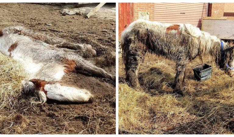 Le sauvetage émouvant de Heidi, un poney laissé pour mort sur un chantier
