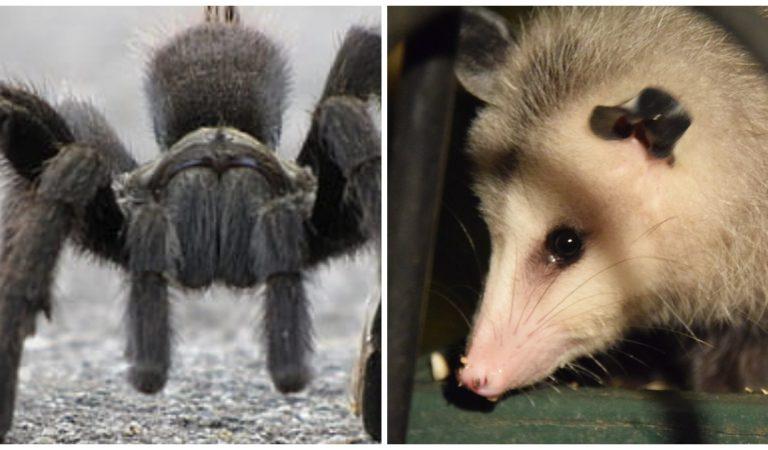 Vidéo : les images terrifiantes d'une tarentule géante en train de dévorer un bébé opossum