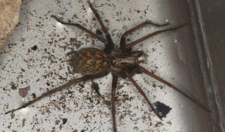 Des araignées géantes de la taille d'une main vont envahir nos maisons dès l'automne