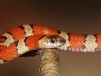 Le serpent s est introduit dans la bouche de cette jeune russe pendant son sommeil