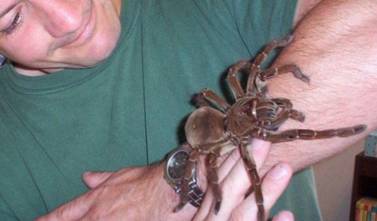 La plus grosse araignée du monde fait autant peur que son nom : 'Goliath birdeater'