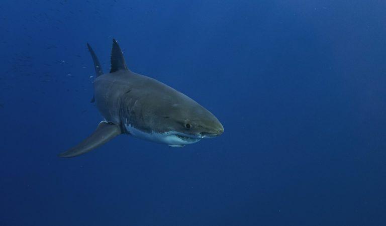 VIDÉO – Panique à Hawaï : un garde-côte tire sur un requin pour protéger les baigneurs