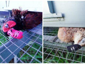 La nouvelle vidéo de L214 dans un élevage de Gibovendée.