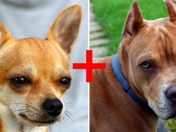 chiens plus beaux croisements pitbull