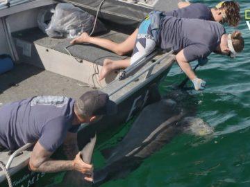 scientifiques installation caméra embarquée sur requin-tigre