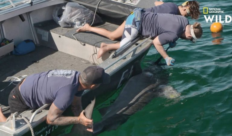 Opération à haut risque : les scientifiques immobilisent un requin-tigre de quatre mètres de long pour lui installer une caméra