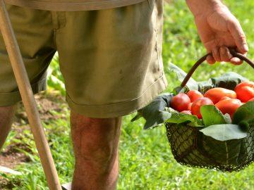 les tomates cueillies dans le sud de la france