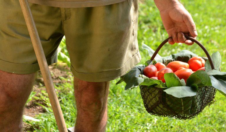 Un producteur de la Drôme offre 30 tonnes de tomates invendues gratuitement à la population