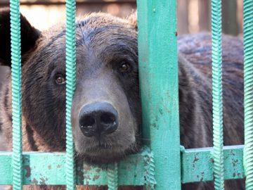 Un ours fermé dans une cage