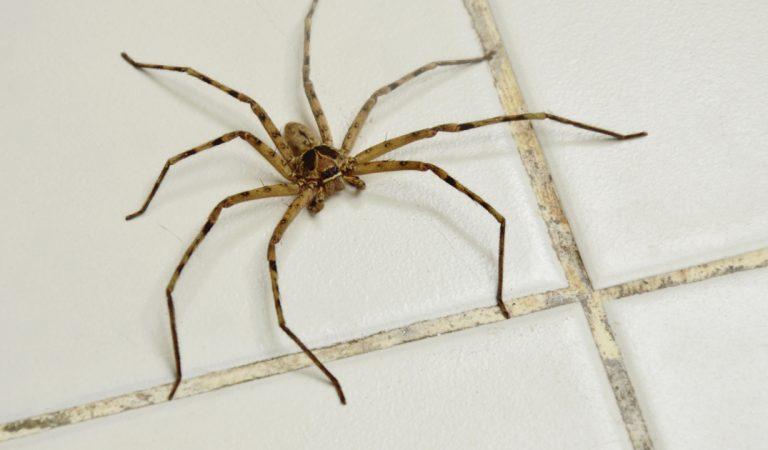 Les araignées envahissent nos maisons à une heure bien précise chaque jour