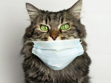 Un chat avec un masque contre le covid-19.