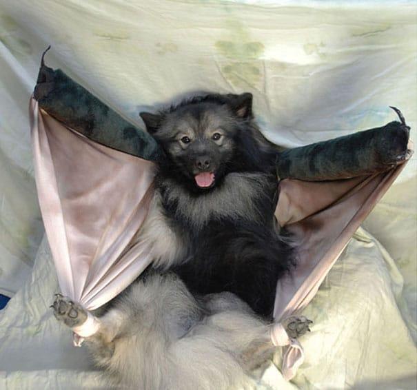 Un déguisement de chauve souris pour chien