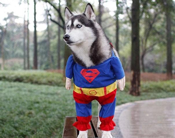 Un chien déguisé en superman