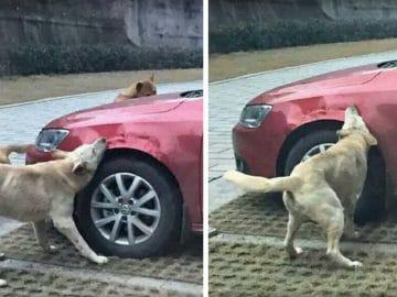 Des chiens errants vandalisent une voiture en Chine.