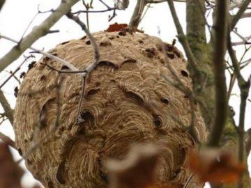 Un nid de frelons asiatiques à Mouscron, en Belgique.