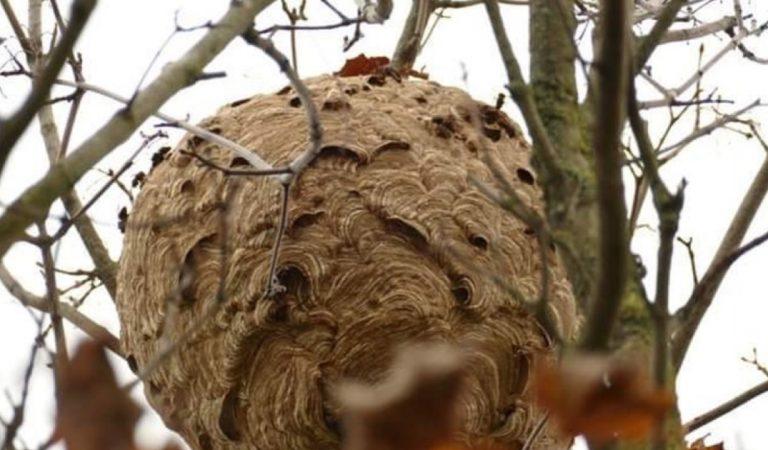 Belgique : un énorme nid de frelons asiatiques déclenche une opération spéciale
