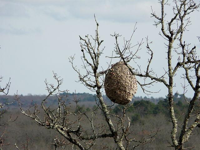 nid de frelons asiatiques dans un arbre