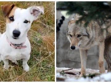 Un jack russell et un loup