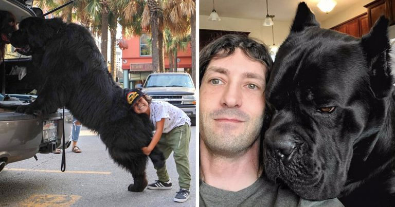 photos impressionnantes chiens géants