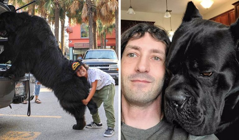 22 chiens hors normes qui ne comprennent pas à quel point ils sont géants
