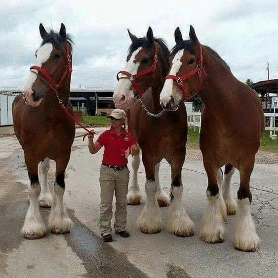 chevaux immenses