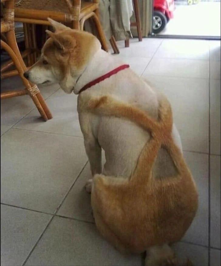 chien toilettage moche