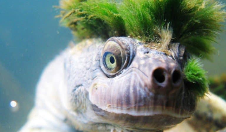 Les tortues « punk » qui respirent par le derrière ne sont pas un mythe !