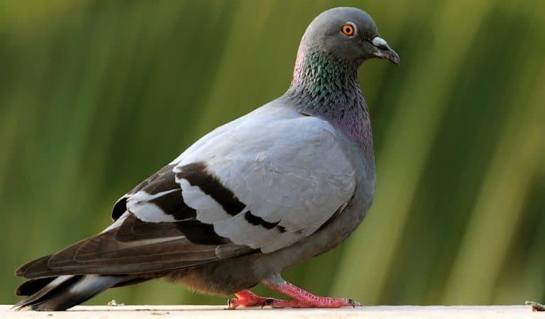 Joe le pigeon américain va être euthanasié pour non-respect des règles de quarantaine australiennes