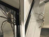 Une araignée en Australie.