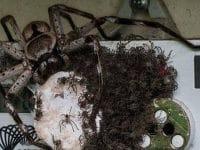 Une araignée géante en Australie
