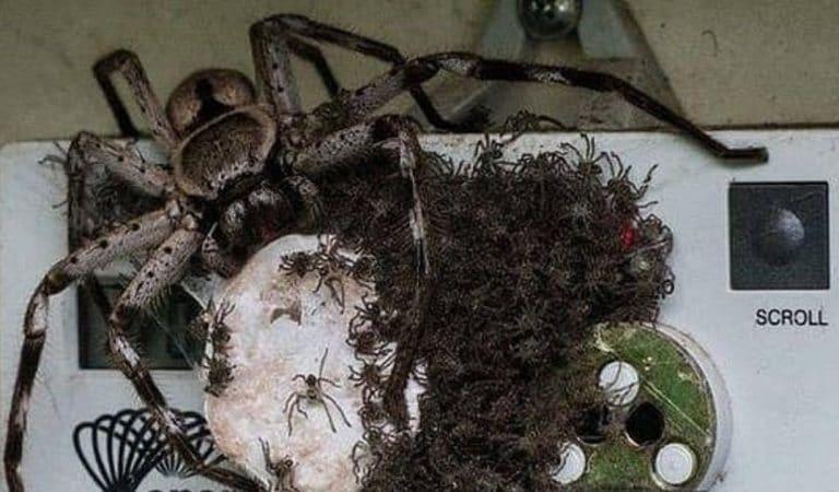 Australie : une araignée géante et ses bébés découverts dans un compteur électrique