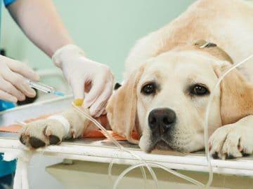 Un chien euthanasie