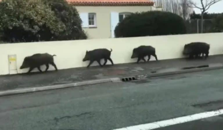 Vendée : des sangliers traversent la ville en file indienne en plein jour ! (vidéo)