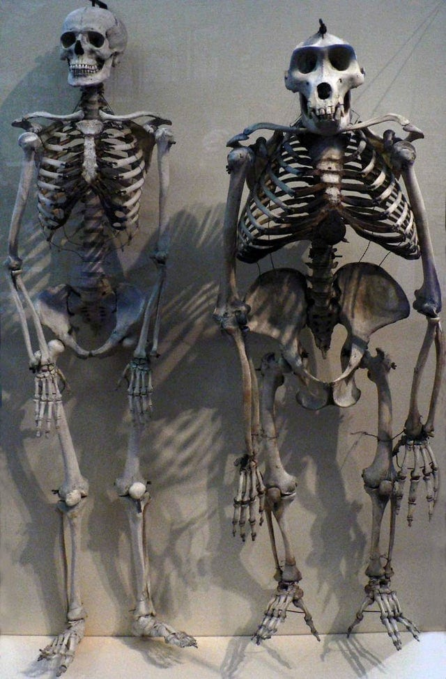 Squelette d'humain comparé au squelette d'un gorille
