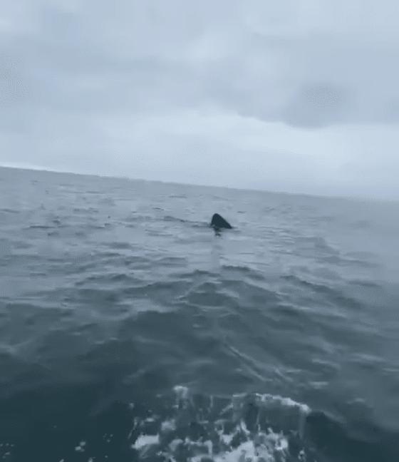 L'aileron du requin pèlerin
