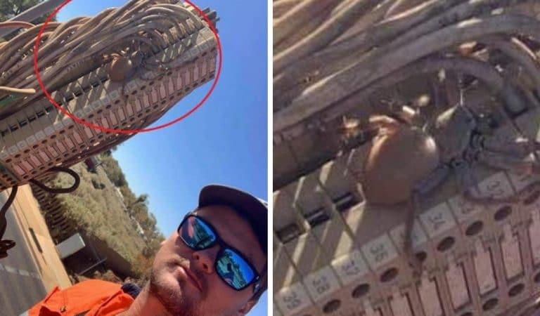 Australie : une énorme araignée enceinte découverte par un ouvrier