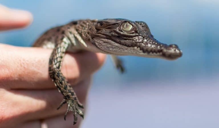 Hermès et LVMH rachètent des fermes à crocodiles australiennes pour fabriquer leurs sacs de luxe