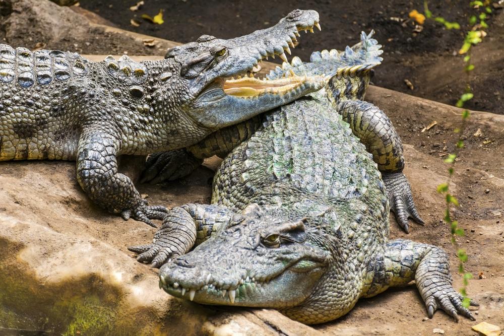 des crocodiles élevés pour les sacs de luxe
