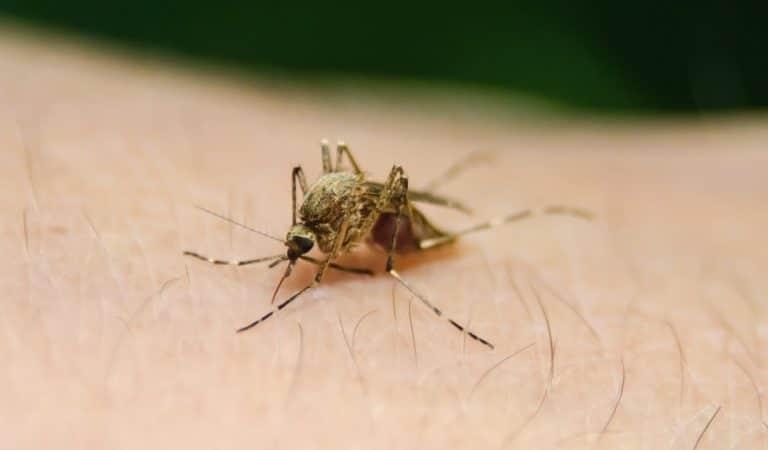 Piqûres de moustique : pourquoi certaines personnes se font-elles plus piquer que d'autres ?