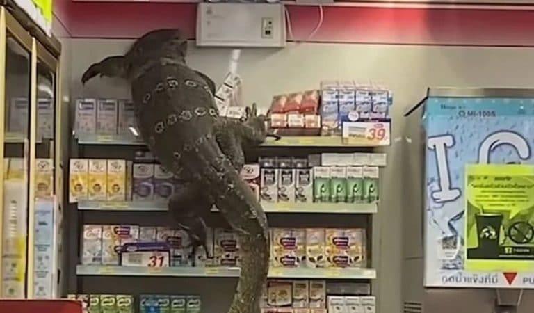 Un gigantesque varan se prend pour Godzilla et escalade les rayons d'un supermarché en Thaïlande