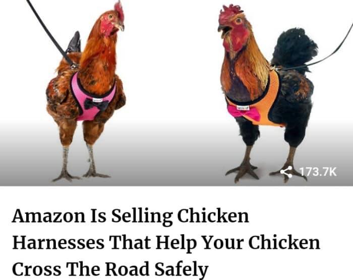 Une invention stupide : une laisse de poulet