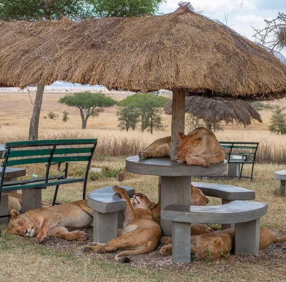 des lionnes qui dorment sur une table