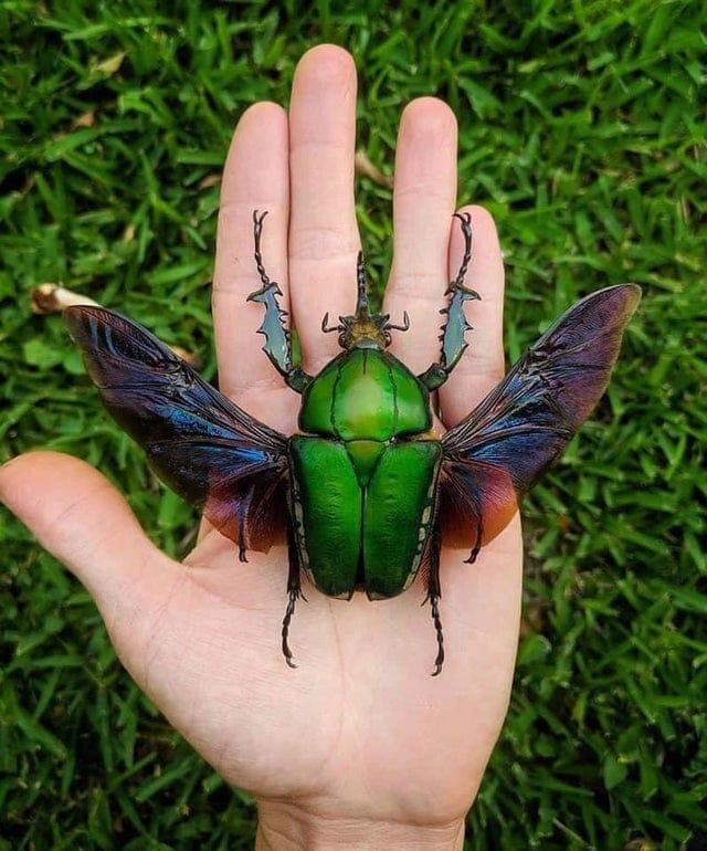 un sublime et immense scarabée