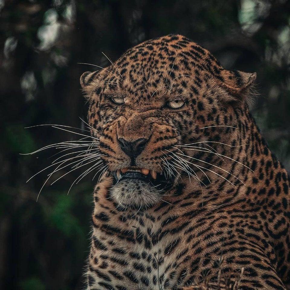 la photo d'un léopard impressionnant
