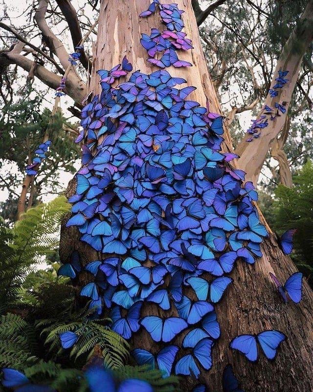 une nuée de sublimes papillons bleus